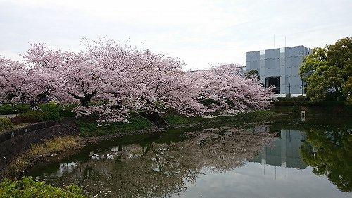 さが桜マラソン2016 県庁 満開の桜