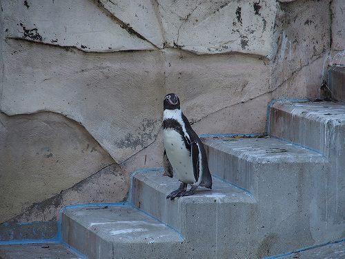 福岡市動植物園 2015/10 フンボルトペンギン
